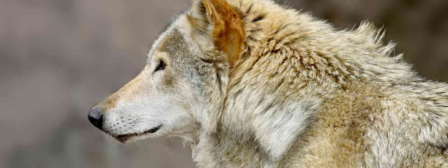 Russian wolf (Shutterstock: see credit below)