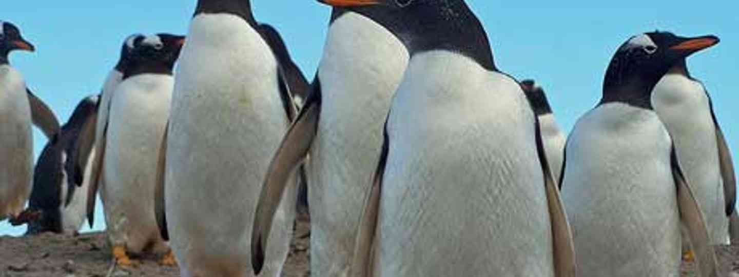 Penguins are too light to trigger the mines left on the islands (Karl Normington)