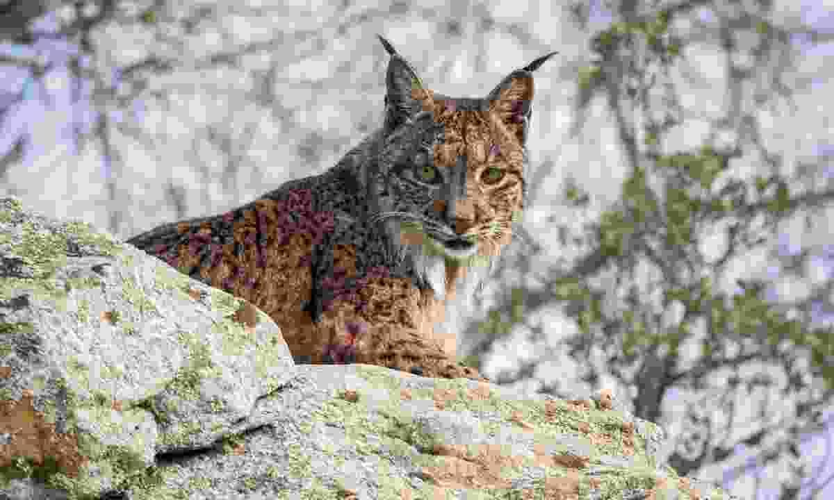 Iberian Lynx on a rock in Spain (Dreamstime)