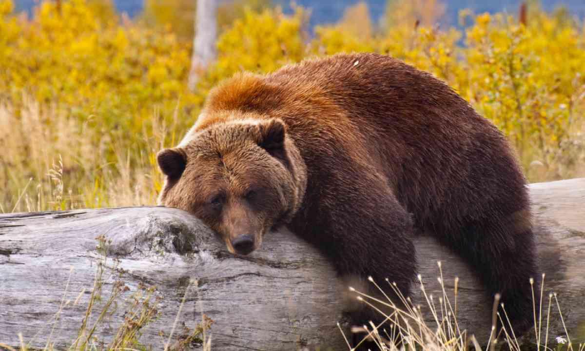 Grizzly bear, Alaska (Shutterstock)