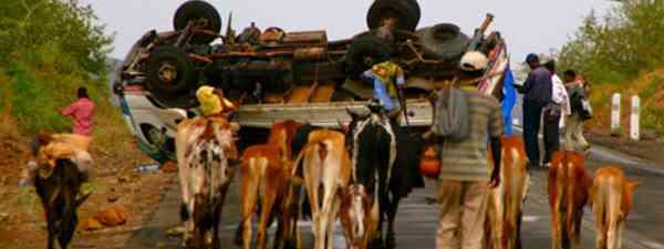 Cow car crash (Charlie Walker)