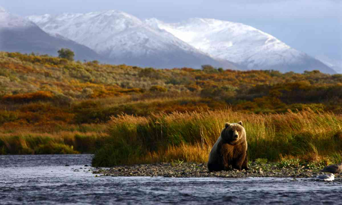 Brown bear, Kodiak Island (Shutterstock)