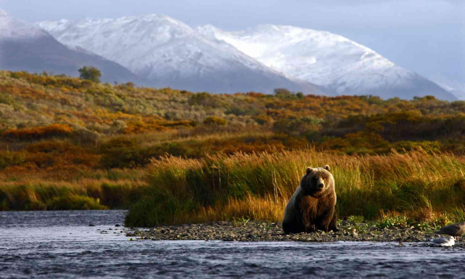 Brown bear, Kodiak Island (Shutterstock)