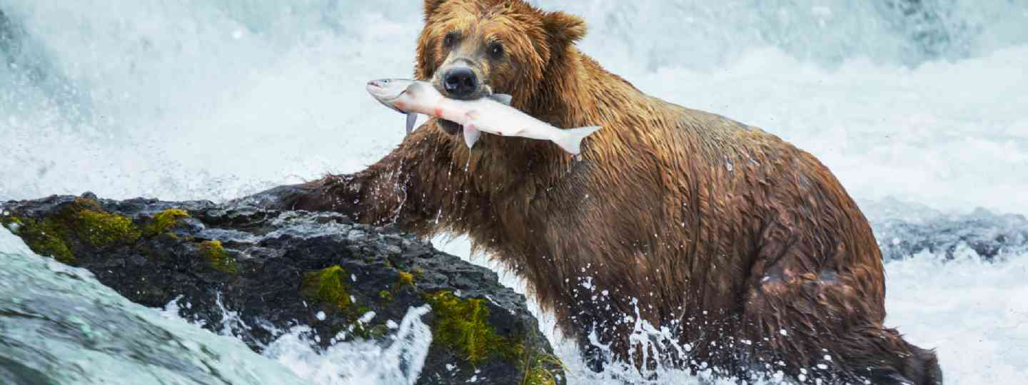 Brown bear on Alaska (Shutterstock: see credit below)