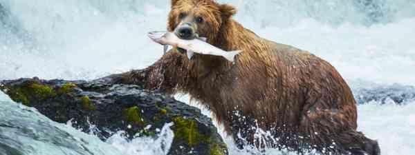 Brown bear on Alaska (Shutterstock: see credit below)