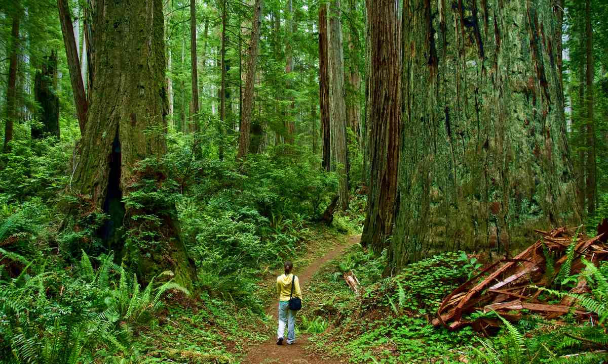 Walking amongst the Redwoods (Dreamstime)