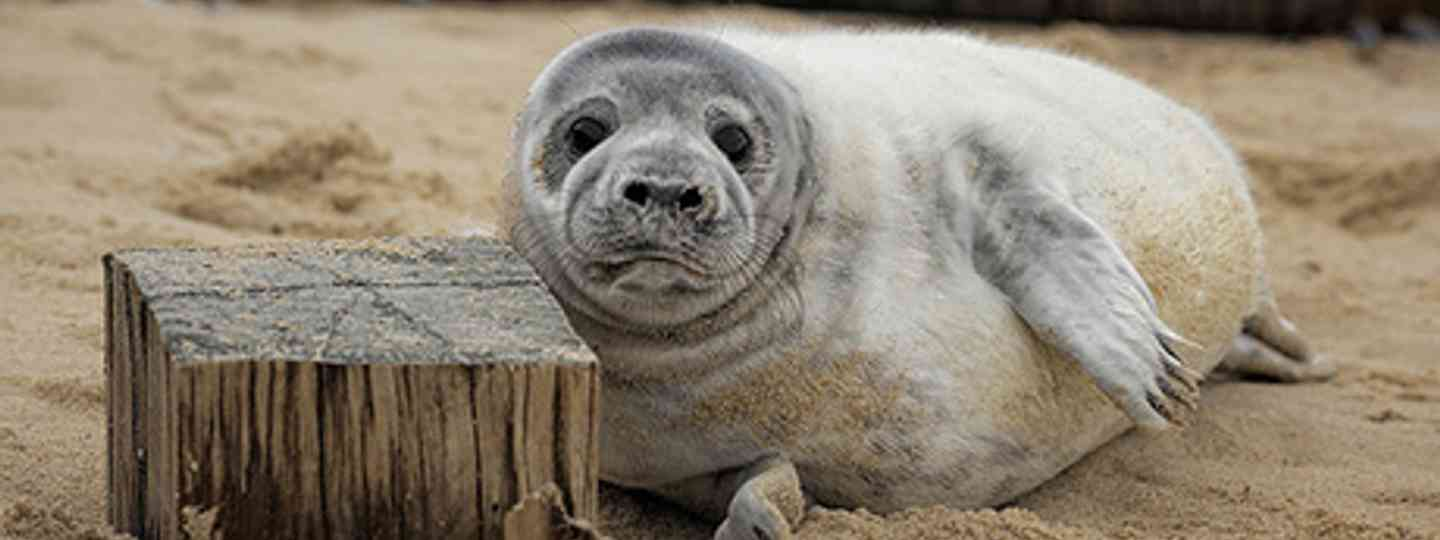 Seal on Horsey Beach (The Broads Authority)