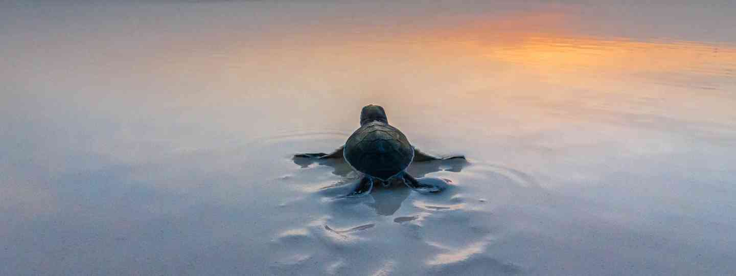 Green sea turtle, Mnemba Island, Tanzania (Art Wolfe, Migrations)