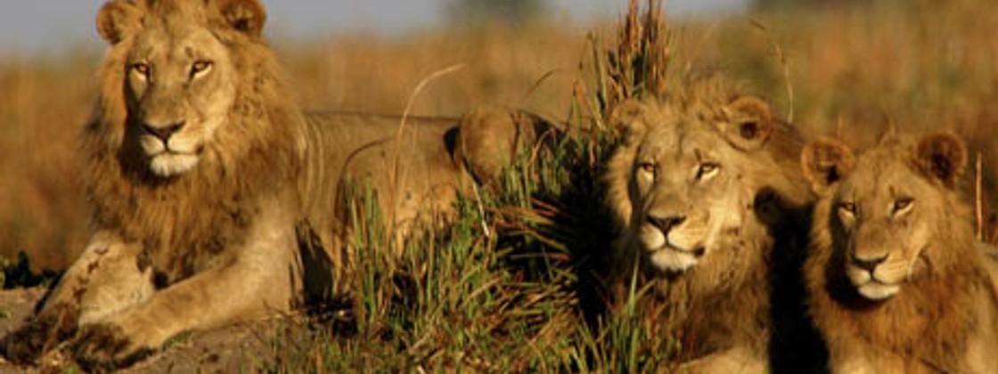 South africa travel blueprint 5 unmissable trips wanderlust lions basking in kruger national park photo wilderness safaris malvernweather Images