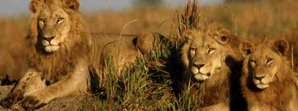 Lions basking in Kruger National Park (Photo: Wilderness Safaris)