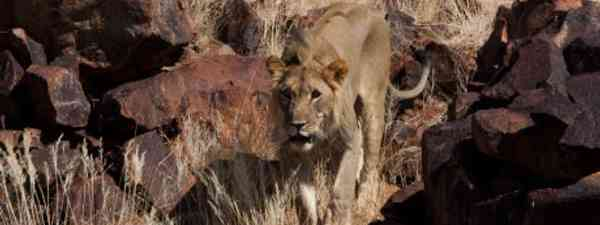 Desert lions can be hunted in the name of sport (Paul Goldstein)