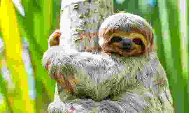 Young three-toed sloth in Peru (Dreamstime)