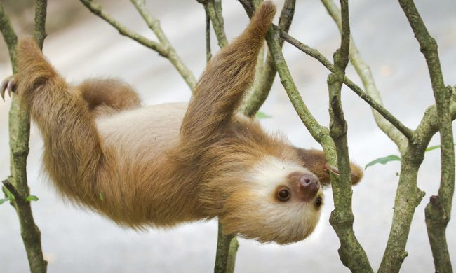 6 fast fun facts you didn't know about sloths | Wanderlust
