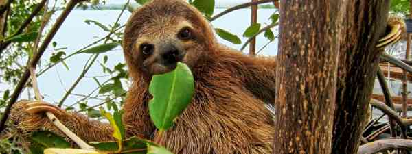 Sloth in a tree (Dreamstime)