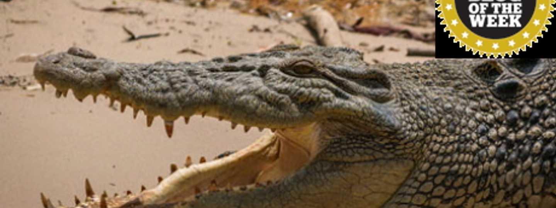 Crocodile (Lauren Mowery)