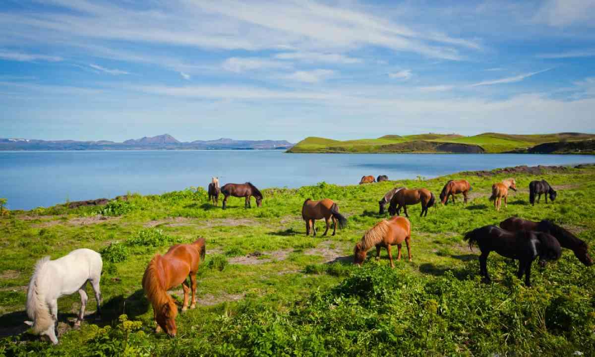 Icelandic horses (Shutterstock)