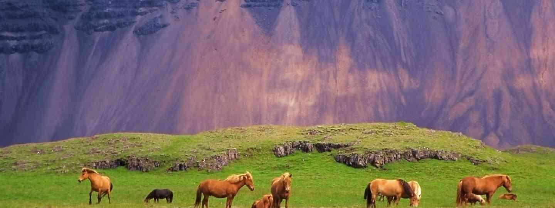 Icelandic horses (Shutterstock: see credit below)
