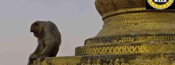 Monkey at Mt Popa (Tom Williams)