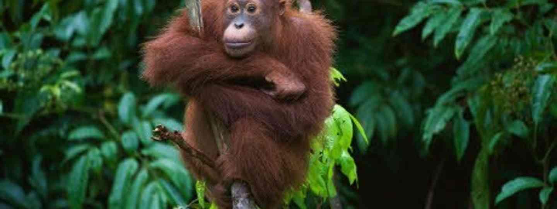 Orangutan (Wanderlust)