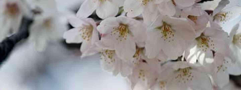 Cherry blossom is in full bloom in spring (monika.monika)