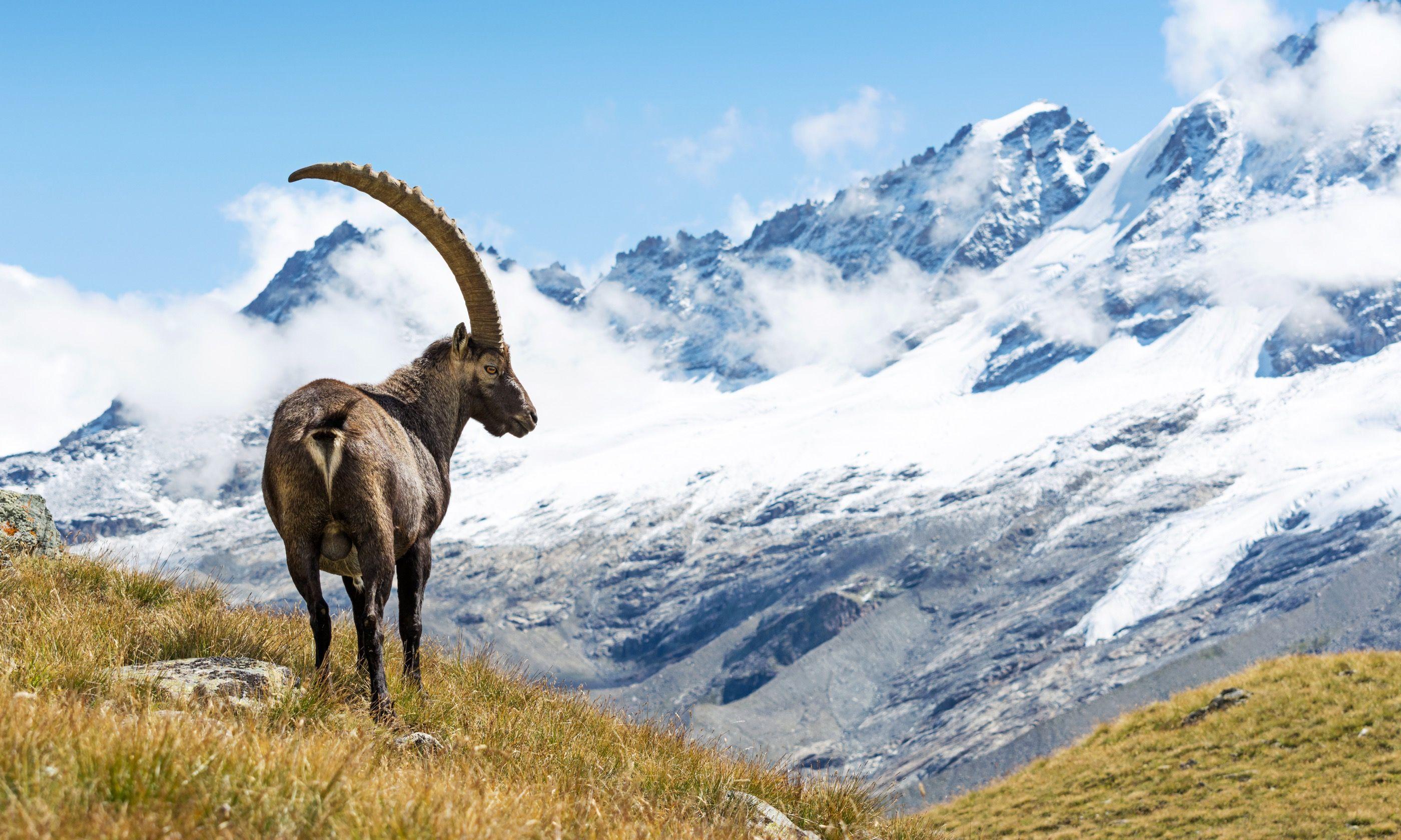 Alpine Ibex in Gran Paradiso National Park (Dreamstime)