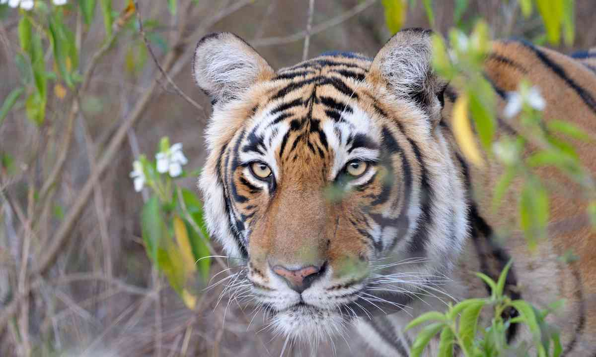 Tiger in Ranthambhore National Park (Dreamstime)