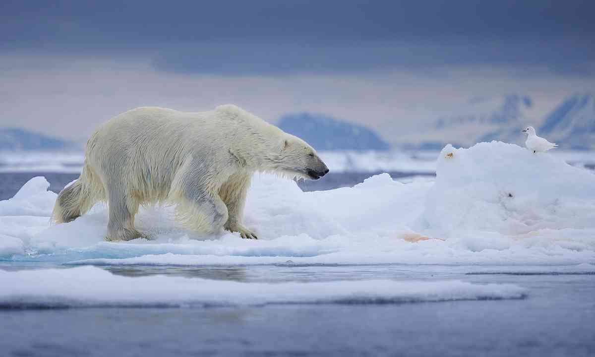 Polar bear after taking a dip in Svarlbad (Dreamstime)