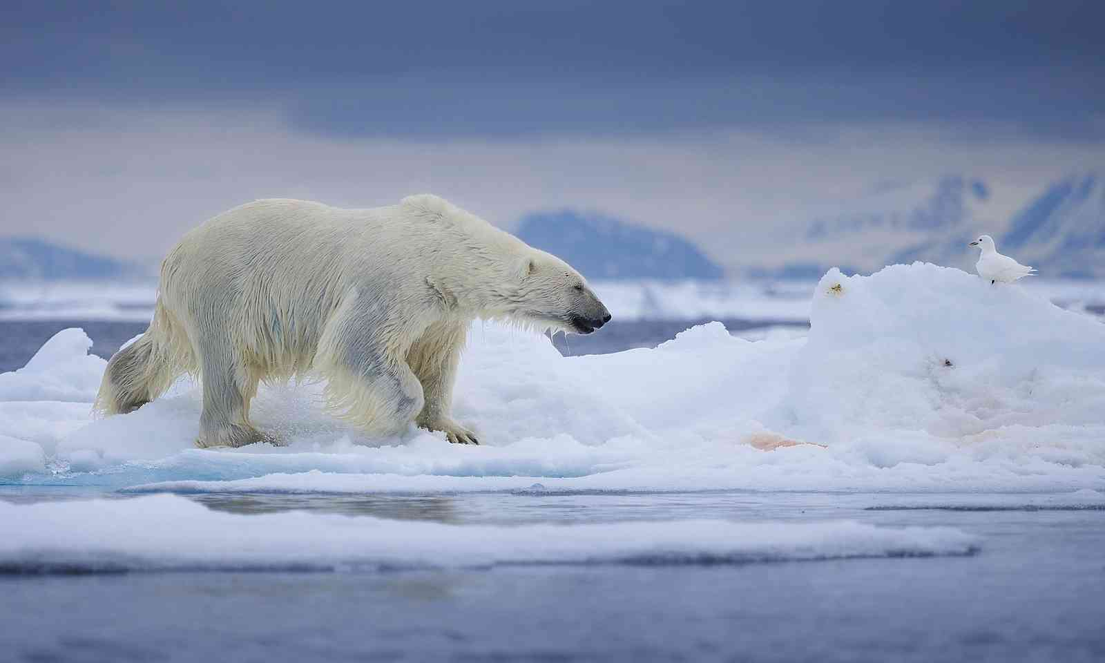 Polar bear after taking a dip in Svarlbad (Dreamstime)