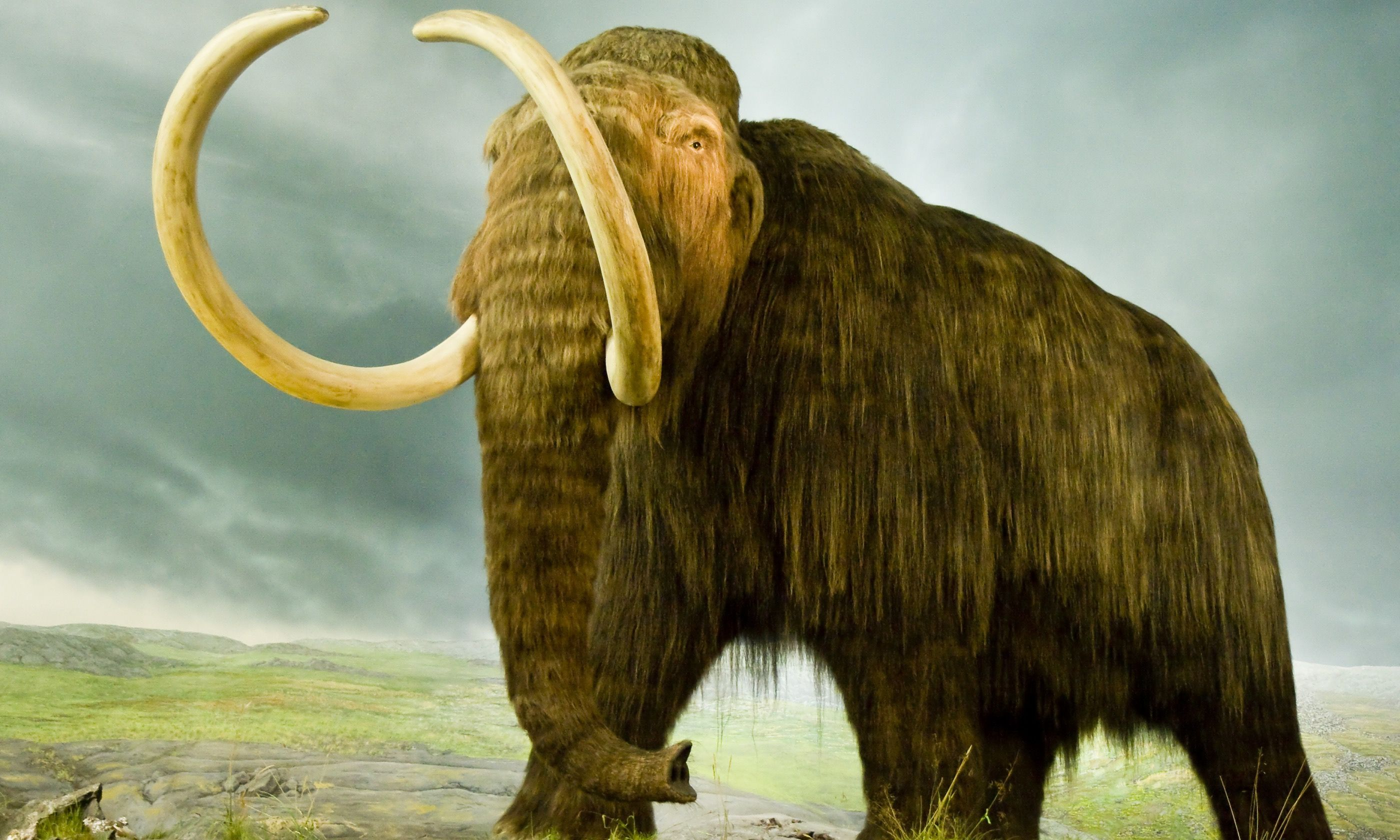 A giant woolly mammoth. Maybe from Wrangel Island (Dreamstime)