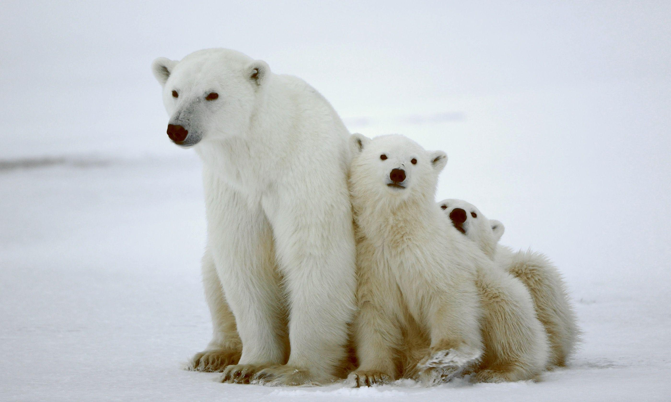 Polar bears in Churchill (Dreamstime)