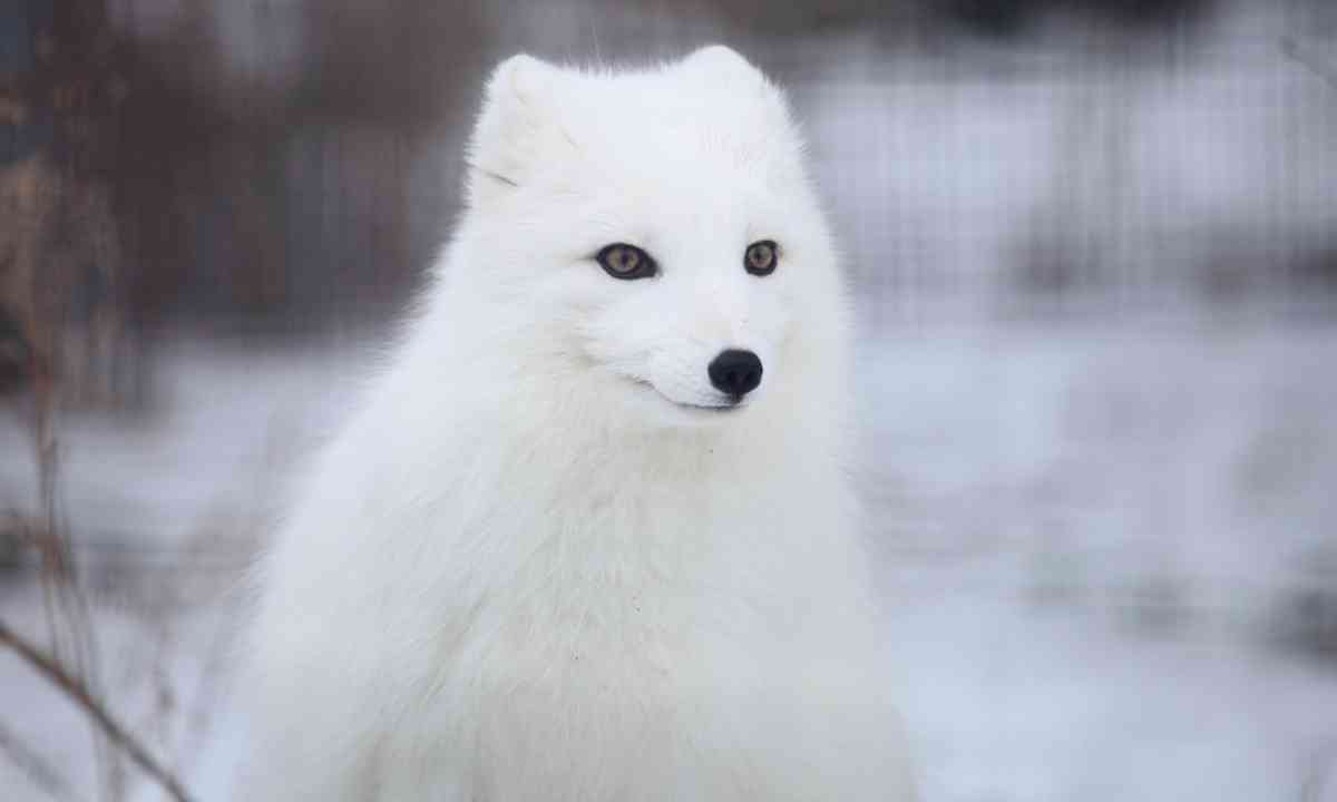 Arctic fox (Dreamstime)