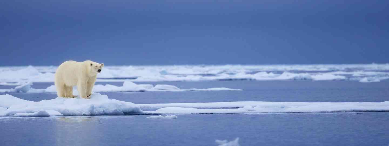 A polar bear gazing across the ocean in Svalbard (Dreamstime)