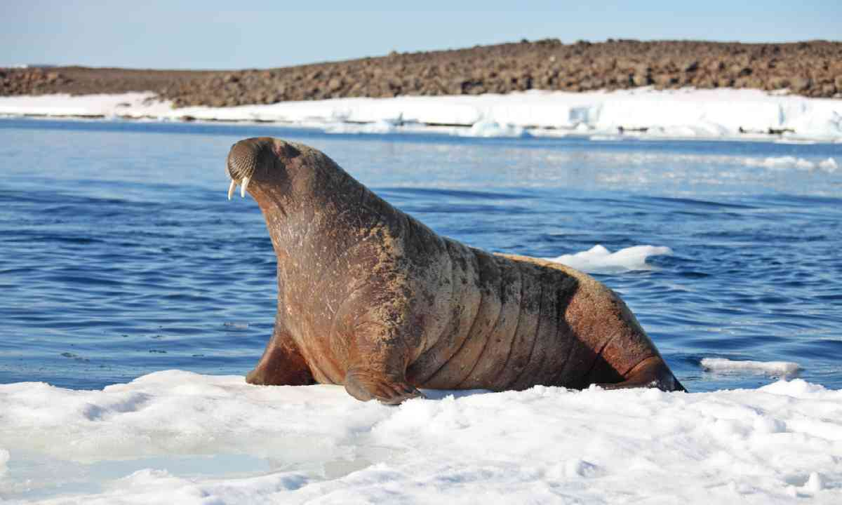 Walrus cow on ice floe (Shutterstock)