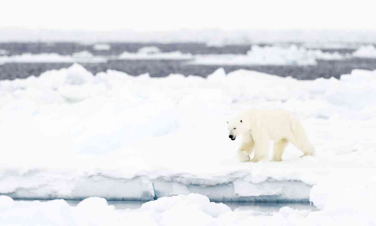 Polar bear in Baffin Bay (Shutterstock)
