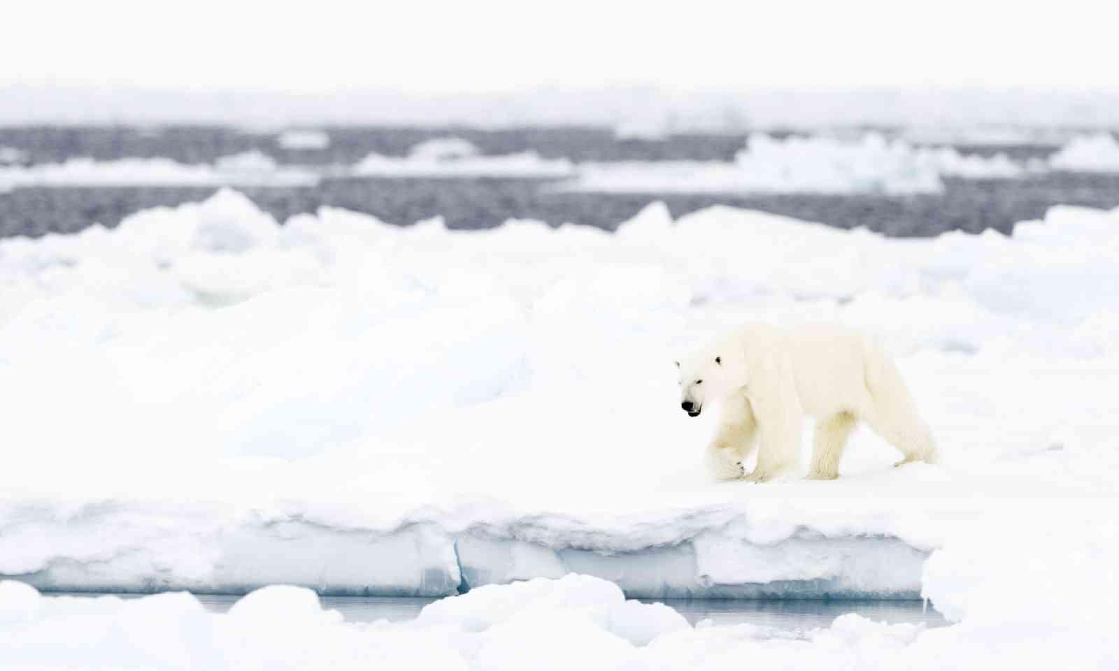 Polar bear in Baffin Bay (Shutterstock)