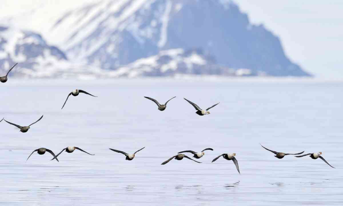 Group of King Eider, Baffin Bay (Shutterstock)