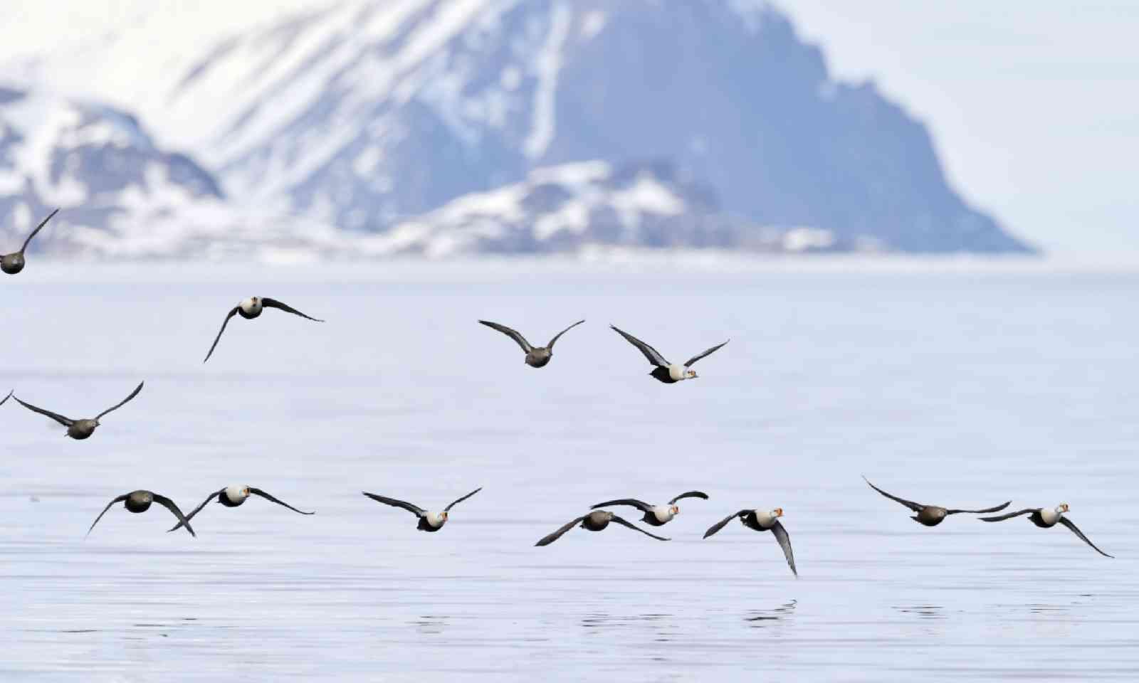 Group of King Eider, Baffin Bay (Shutterstock)