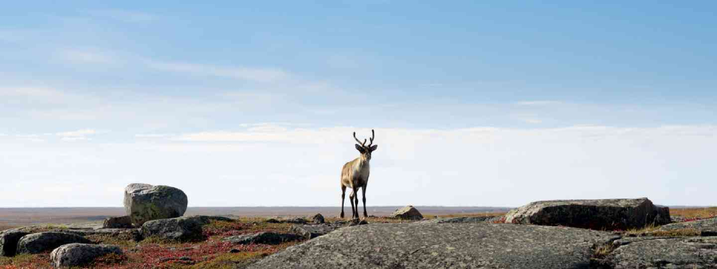 Lone Caribou on the Arctic Tundra (Shutterstock)