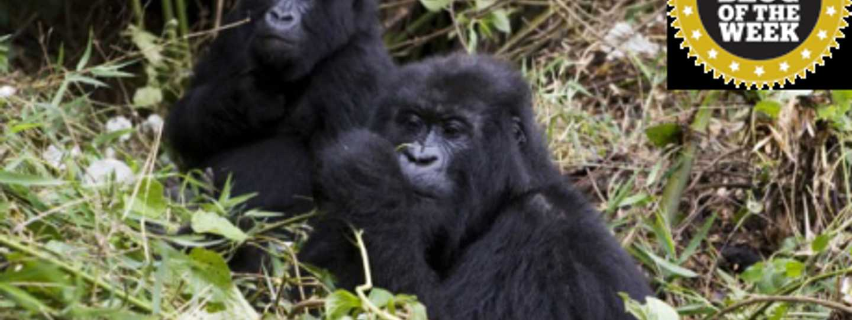 Mountain Gorillas in Rwanda (Stuart Foster)