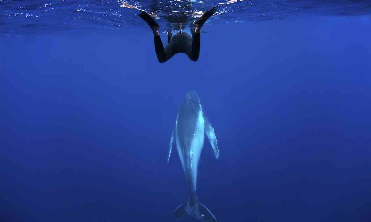 Diving with humpbacks in Tonga (Dreamstime)