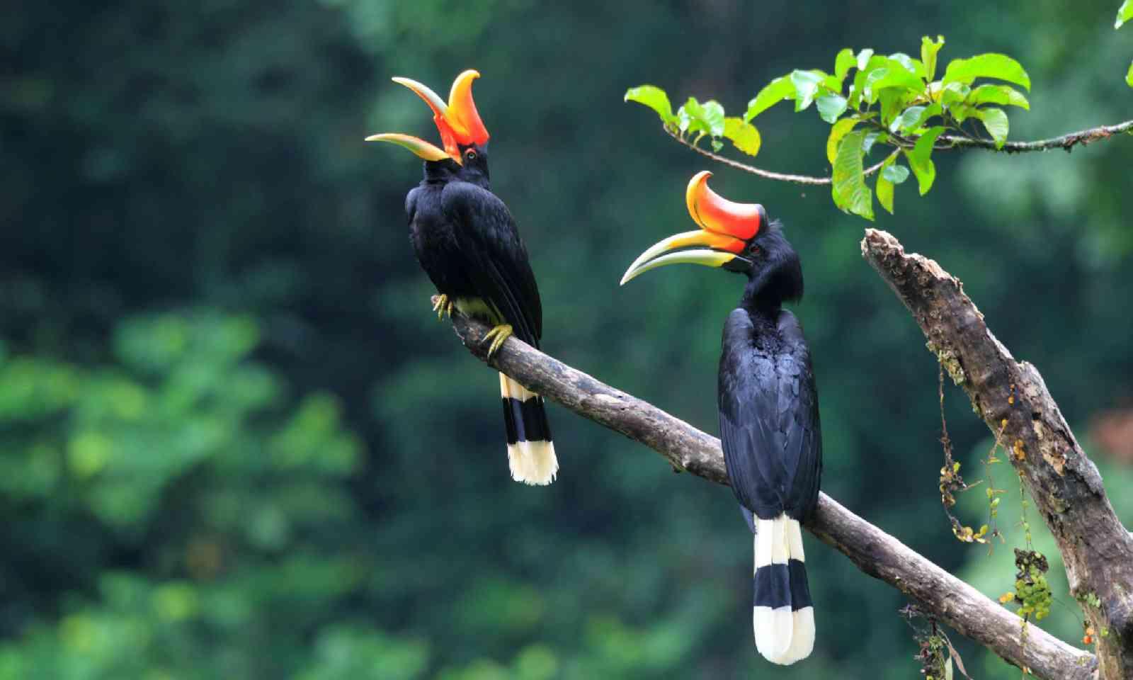 Rhinoceros Hornbill in Sumatra, Indonesia (Shutterstock)