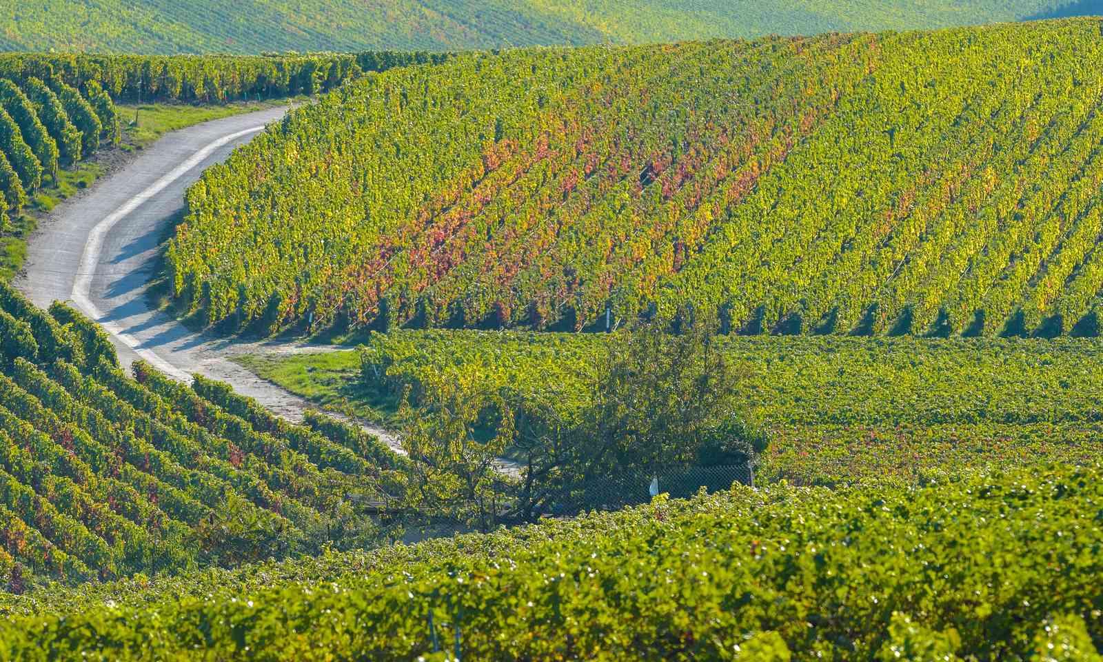 Champagne vineyard in Sermiers (Dreamstime)