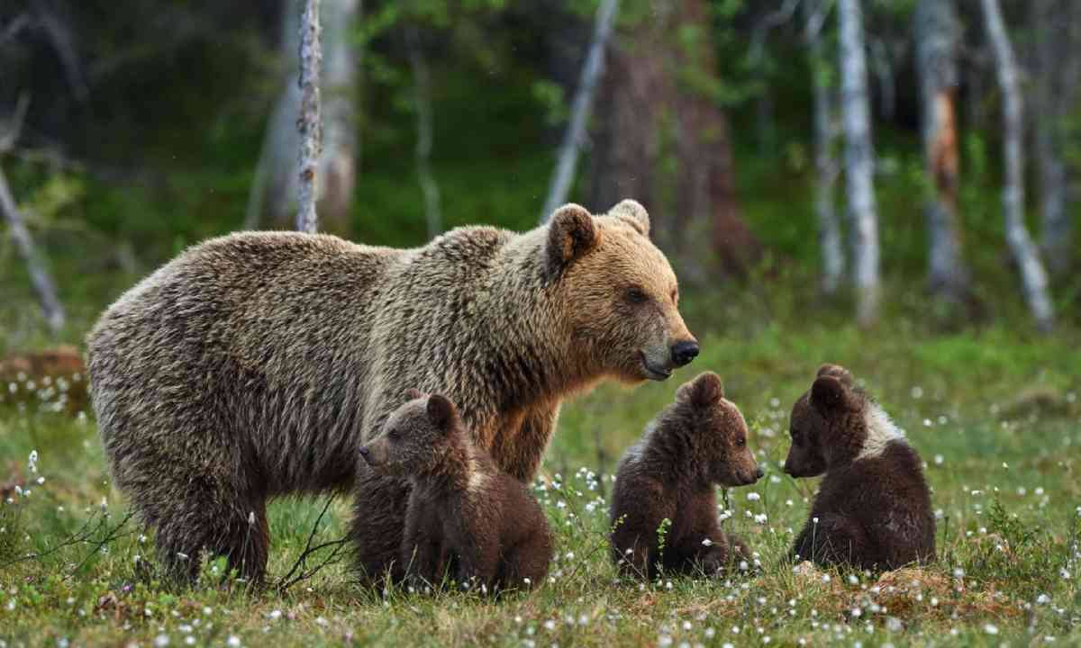Mother bear and three puppies (Shutterstock)