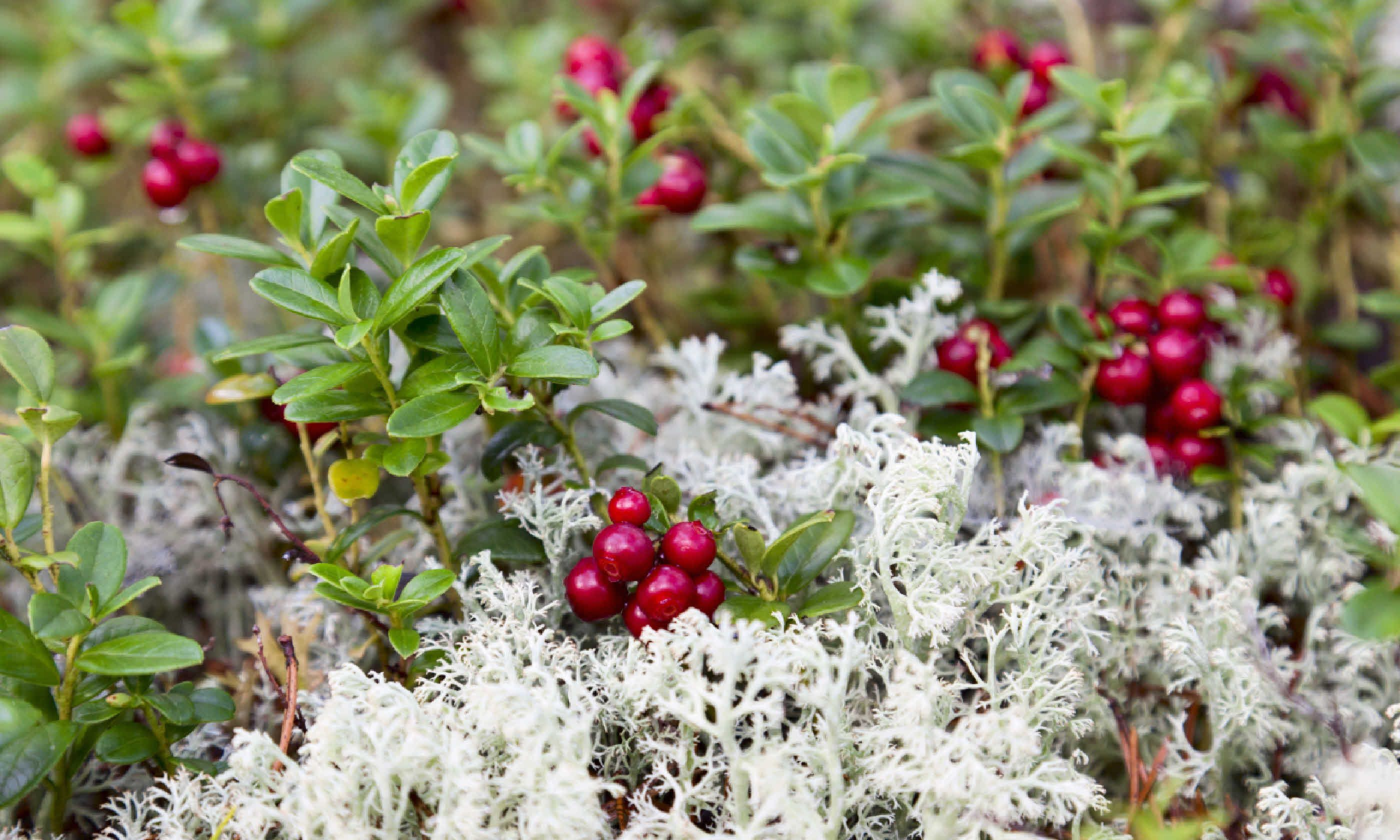 Wild lingonberries (Shutterstock)