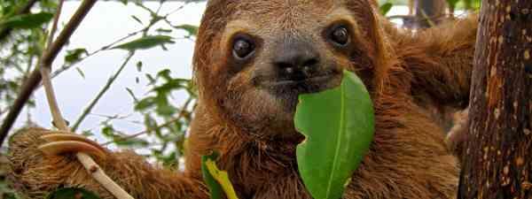 Costa Rican sloth (shutterstock.com. See credit below)