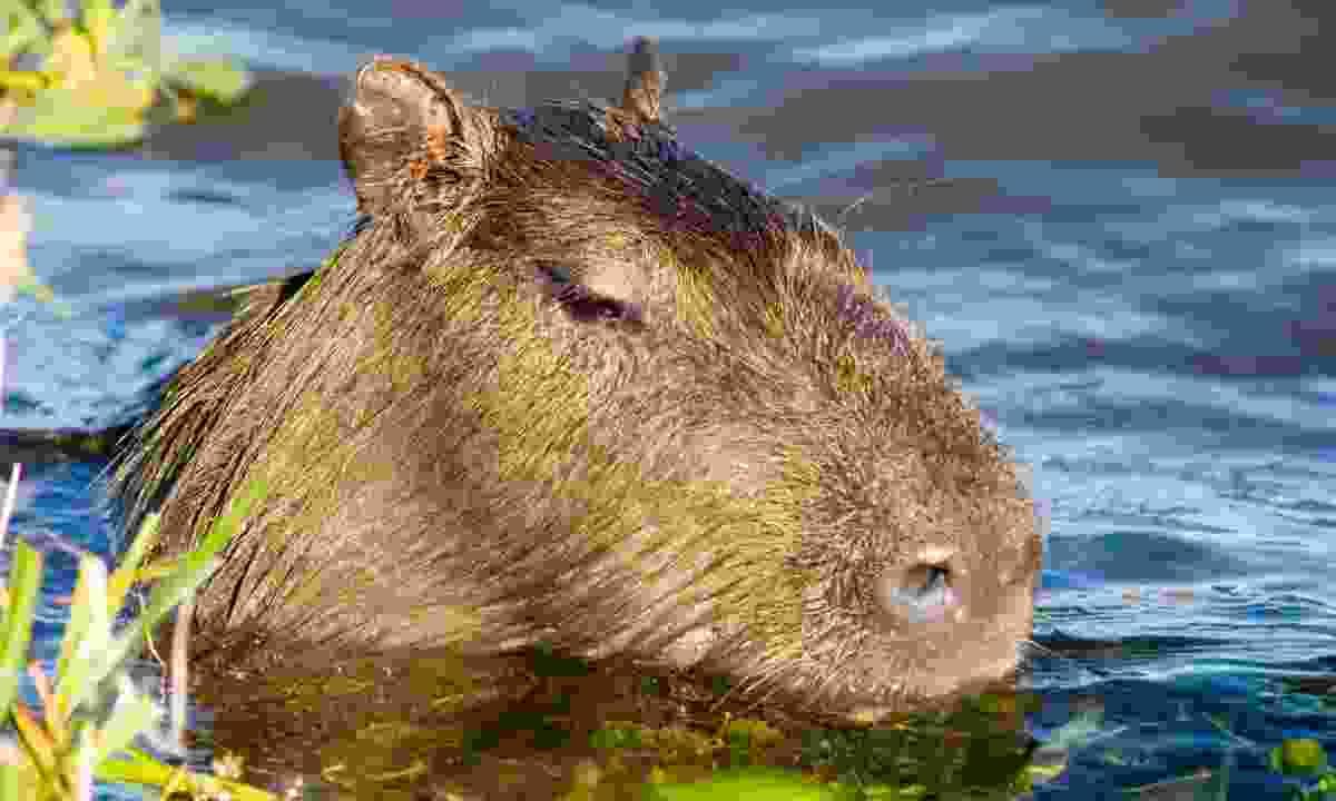 A capybara in the Ibera wetlands (Dreamstime)