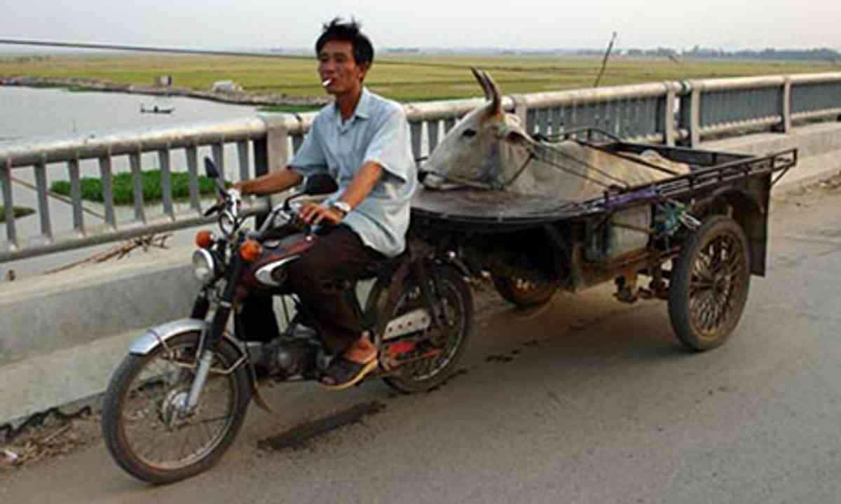 Cow taxi (Peter Moore)