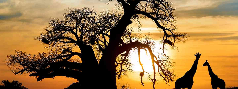 Giraffes at sunset. (Shutterstock: see credit below)