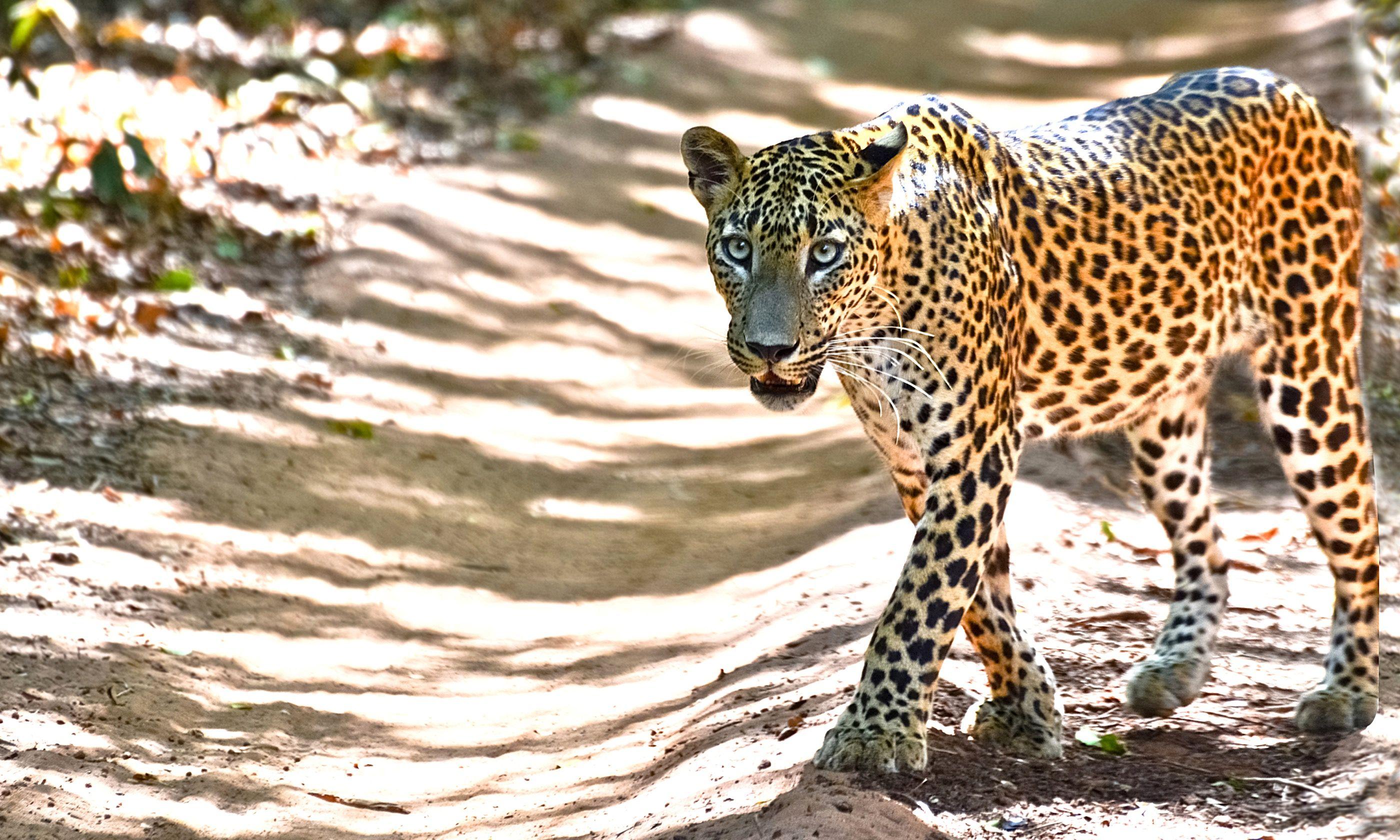 Leopard in Sri Lankan National Park (Dreamstime)