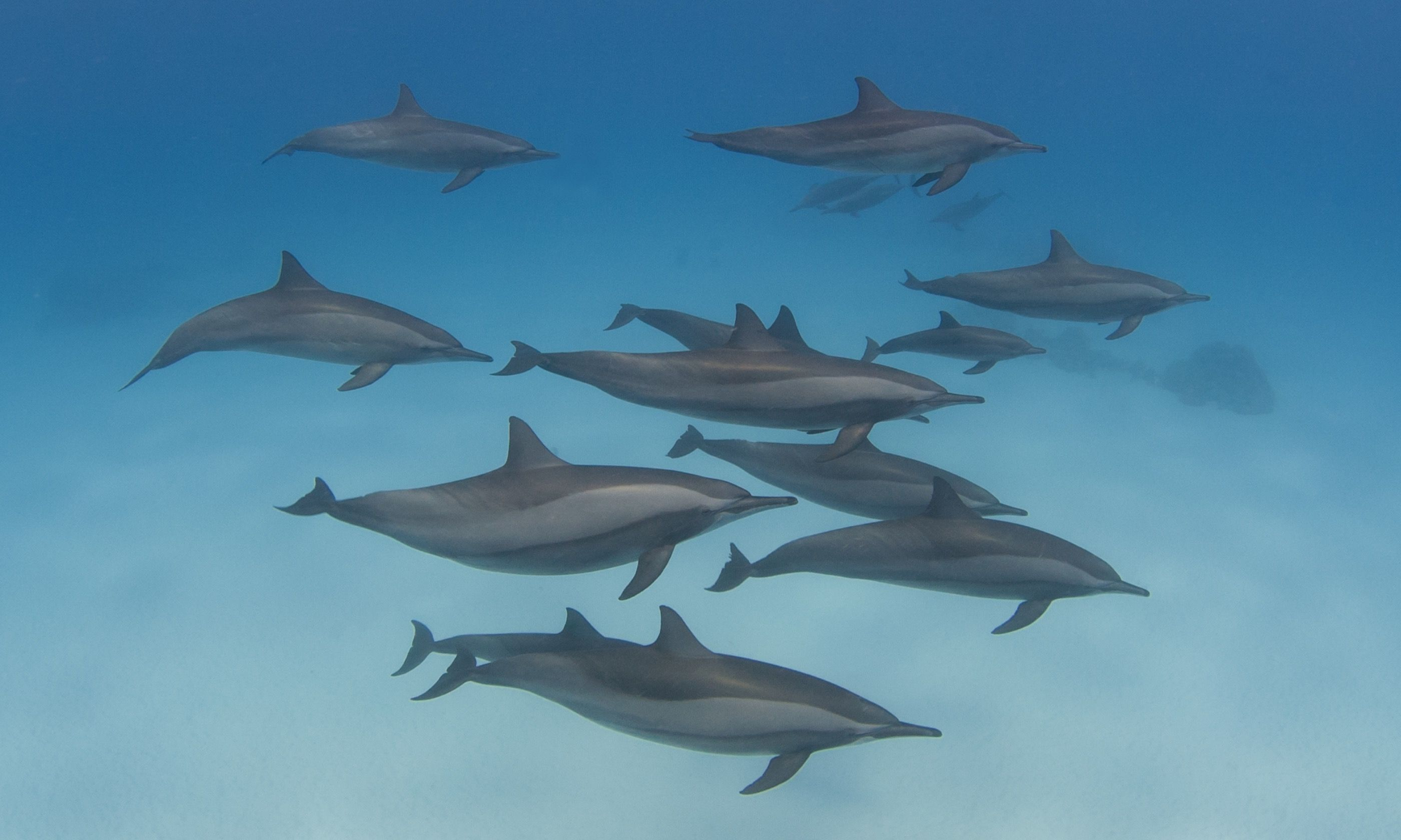 Spinner dolphins in the wild (Dreamstime)